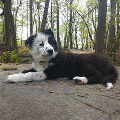Finlay on top #Finlay #bordercollie #collie #dogs #Hund #Welpe #puppies #dogstagram #dogsofinstagram #loved #adorable #cute #puppy #dog #bordercolliesofinstagram #borderfame