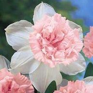 Rosy Cloud Daffodil...pink daffodils...wow!!