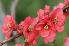 Flowering Quince Shrubs - Landscaping Species - Quince Fruit