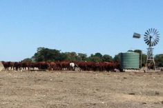 Cattle in the south east of SA gather close to water and supplementary feed.