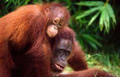 orangutan de Sumatra.