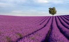 2003 trip, South of France, Provence: gorgeous Lilac fields...