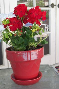 Geraniums in a red pot