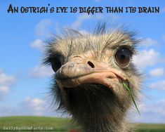 Ostrich Fact: Their eye is bigger than their brain