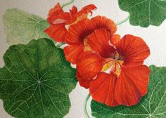watercolor of Nasturtiums I did on display at the Pacific Grove Art Center, April 12 through May 16, 2013