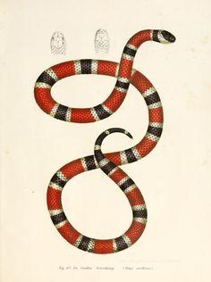 Painted coral snake. Bilder-Atlas zur wissenschaftlich-popularen Naturgeschichte der Wirbelthiere. 1867.