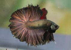 Copper dragon betta