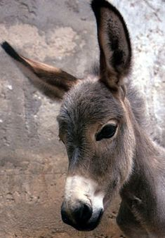 donkey = burro :) Donkeys have been working animals for at least 5000 years! In prosperous countries, the donkey may live up to years. Baby Donkey, Cute Donkey, Mini Donkey, Mini Pigs, Baby Cows, Farm Animals, Animals And Pets, Cute Animals, Funny Animals