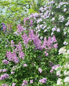 Spring blooms  Put the welcome mat out for butterflies by planting some of these: Blackhaw viburnum Blueberry Bluestar Candytuft Dame's rocket Lilac (pictured) Lupine Privet Wild plum