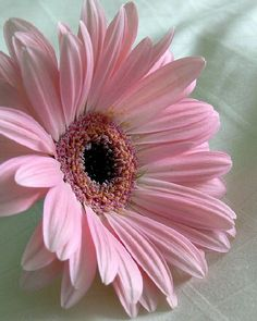 soft pink color on this gerbera daisy makes it stunning. My Flower, Pink Flowers, Beautiful Flowers, Pink Gerbera, Beautiful Gorgeous, Simply Beautiful, Birth Flower, Flower Names, Pink Petals