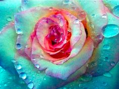 if a mermaid had a signature  rose..this would be it