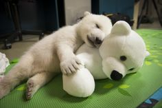 Nora the polar bear is making a new friend. Once a favorite among visitors to the Columbus Zoo and Aquarium, Nora has been attracting fans at her new home at the Oregon Zoo.