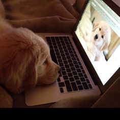 Charley (3 mos. old) looking at a photo of his cousin Bentley. #Dichi Goldens