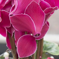 Cyclamen Scholten Pastel (©TheInspirationtable) Small Flowers, Bulb, Pastel, Vegetables, Rose, Plants, Cake, Pink, Little Flowers