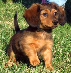 Google Image Result for http://www.thedogfiles.com/wp-content/uploads/2009/10/dachshund_03.jpg