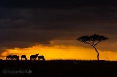 Acacia Tree & Wildebeest. | Masai Mara. | Kenya. |  More www.shop.ingogerlach.de