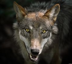 Lawmakers Push To Take Gray Wolf Off Endangered Species List