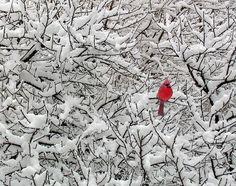 Google Image Result for http://cdnimg.visualizeus.com/thumbs/0c/57/bird,cardinal,colour,contrast,nature,red-0c577ff6d52b12fdbc660c88935c3711_h.jpg