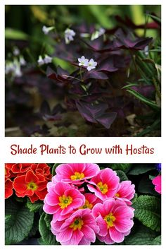 This list of hosta companion plants will fill in your garden beds with shade loving plants. From annuals to shrubs, these plants will add dramatic impact. Shade Loving Perennials, Plants, Japanese Painted Fern, Hostas, Foliage Plants, Annual Plants, Companion Planting, Garden Bloggers, Shade Plants