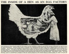 The inside of a hen as an egg factory (illustrate the way in which the eggs are produced)