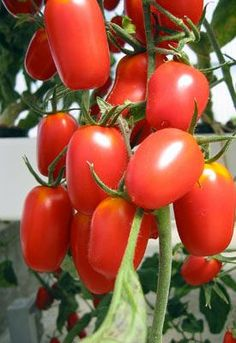 How To Grow Tomatoes Indoors The plant Eggs and Coffee