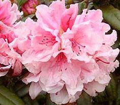 R. Hydon Dawn...be still my heart...purest of pink.....