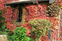 Secrets to Fall Color: Learn the basics for enjoying rich, beautiful colors in your backyard this fall.   Read more: http://www.birdsandblooms.com/gardening/gardening-basics/secrets-fall-color/#ixzz3GuQsVcbh