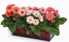 Breath Easier with These Air Cleaning House Plants: Gerber Daisy 'Crush Mix' (Gerbera jamesonii)