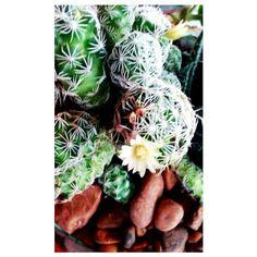 """""""Coisa bela é ver que depois de um tempo em meio há tantos espinhos uma flor brota."""" De Flor em Flor  (11945861478) #terrarium #minigarden #succulents #design #handmade #arqjardim #fotografia #greengifts #sustentabilidade #ecodecor #ecofriendlyproducts #succulentlovers #paisagismo #jardinagem #jardim #reciclagem #customização #cenografia #arquitetura #florista #artefloral #ecodesign #cact #greengifts by cinthia_rissatto http://ift.tt/1TD7hT8"""