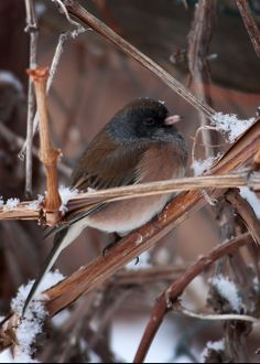 The Dark-eyed Junco was the 4th most spotted bird in the Central Flyway during last year's Great Backyard Bird Count. Join us this year February 14-17.