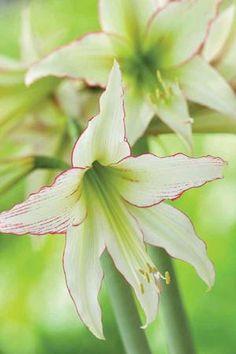 Amaryllis 'Emerald'