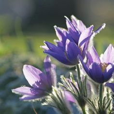 There And Back Again by Lala Lands, via Flickr Pulsatilla vulgaris, Pasque Flower