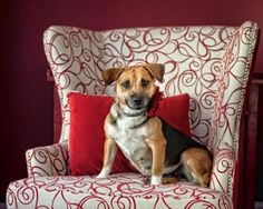 Meet Jenny, a Petfinder adoptable Corgi Dog | Concord, NC | Jenny is a sweet, happy girl who was born around March of 2014. She is in a foster home with two...