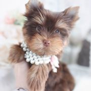 Toy or Teacup Yorkies for sale   Teacup Puppies & Boutique Teacup Yorkie For Sale, Yorkies For Sale, Yorkie Puppy For Sale, Yorkie Puppies, Teacup Puppies, Puppies For Sale, Wire Fox Terrier Puppies, Toy Yorkshire Terrier, Teacups