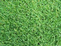 SEMI DI GRAMIGNONE PER PRATO CARPET GRASS KG. 5 https://www.chiaradecaria.it/it/semi-di-prato-inglese/16294-semi-di-gramignone-per-prato-carpet-grass-kg-5.html