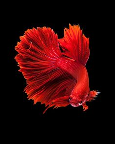 Capture the moving moment of red siamese fighting fish isolated on black background. Colorful Fish, Tropical Fish, Oscar Fish, Betta Fish Types, Black Background Photography, Discus Fish, Graphic Art Prints, Beta Fish, Siamese Fighting Fish