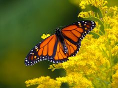 monarch butterfly and goldenrod, Todmorden Mills, photo credit: Lisa Richardson #ONinsects