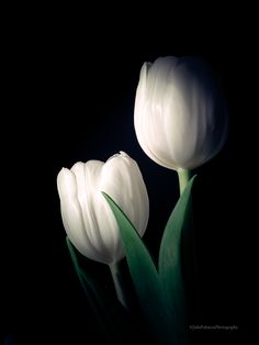 ~~ Two White Tulips on Black ~~