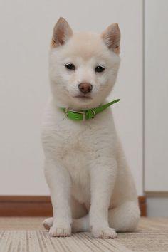 "* * Shiba Inu Puppy: "" Noes. I don'ts speak Japanese cuz I wuz born in de U.S.A. """