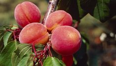 Spray Program for Peach Trees. Peach trees (Prunus persica), which grow in U.S. Department of Agriculture hardiness zones 5 through 9, are susceptible to a wide array of problems, such as pest infestations and fungal diseases. Implementing a spray program will help manage diseases and pests that can harm the peach ...