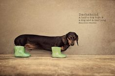 dachshund in green boots