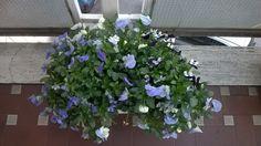 le mie violette