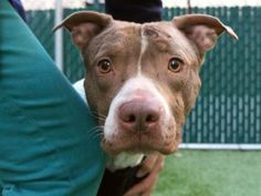 TO BE DESTROYED 04/14/17 A volunteer writes: As I pass his kennel, Champ is doing his best to get my attention, and it works! He's so anxious to get outside to go potty, which he does for so long I was worried he'd topple over! Good boy, Champ! He pulls hard on the leash, so will benefit from some leash training, and is alert, curious and still anxious in this new setting. Champ joined us with his fur shaved, we don't know why, and he has a boo boo on his head which is...
