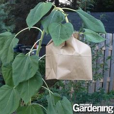 When sunflowers lose all their petals, start to sag, and the bees ignore them, then it's time to work on seed saving techniques. Place a paper bag over the sunflower to collect the seeds and stop the birds from eating them.