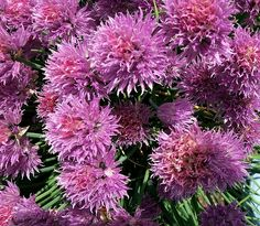 Chives are a bulb-forming herbaceous perennial plant, growing to 30�50 cm tall. The bulbs are slender, conical, 2�3 cm long and 1 cm broad, and grow in dense clusters from the roots.