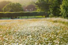 A sea of ox-eye daisies in the wildflower meadow - South Downs, East Sussex