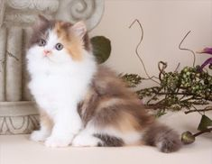 Teacup persian kittens for sale orlando
