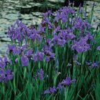 Siberian Iris Caesar's Brother