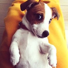 JRT's will steal you heart. || What a Little Ham! Reminds me of my very first dog, a Toy Fox Terrier ||