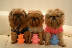 Brussels griffons...too cute!